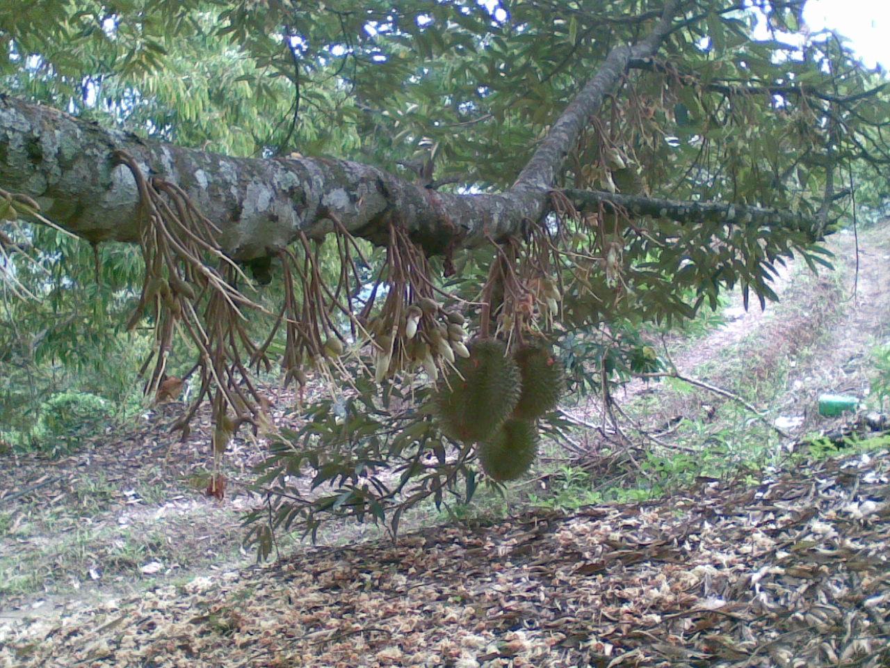 氨基酸微量元素叶面肥适用于榴莲树,稻米橡胶树油棕树蔬菜等农作物